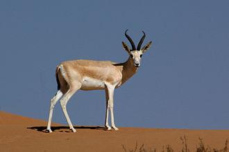 Goitered gazelle - Sand gazelle (Gazella marica) at Dubai Desert Conservation Reserve, United Arab Emirates