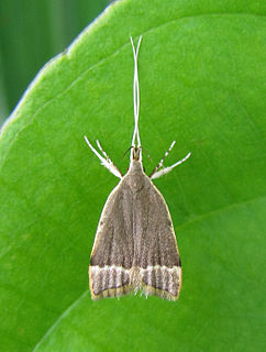 <i>Lecithocera</i> Genus of moths in family Lecithoceridae