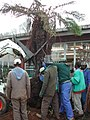 Saving a very valuable cycad prior to building extensions to the Library at the KZN Department of Agriculture 4.jpg