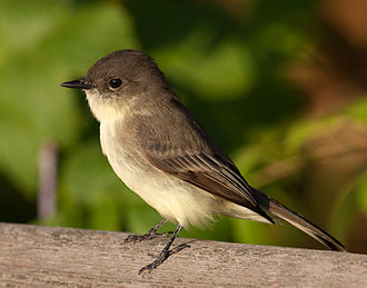 Eastern phoebe - At Madison, Wisconsin