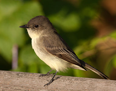 A Eastern Phoebe at Owen Conservation Park, Madison, Wisconsin, USA.