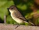 Sayornis phoebe -Owen Conservation Park, Madison, Wisconsin, USA-8.jpg