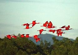 Scarlet Ibises (5535961926).jpg