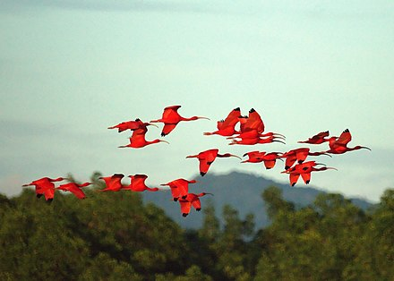 The scarlet ibis birds flying over the Caroni Swamp. Scarlet Ibises (5535961926).jpg