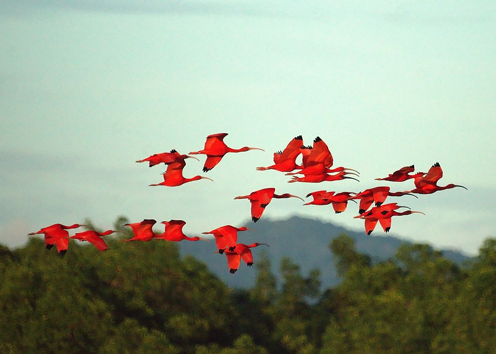 Scarlet Ibises (5535961926)