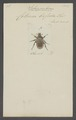 Schizorrhina - Print - Iconographia Zoologica - Special Collections University of Amsterdam - UBAINV0274 022 05 0013.tif