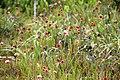 Schoenocephalium teretifolium2.jpg