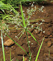 Scirpus microcarpus.jpg
