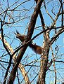 Sciurus-vulgaris-on-tree.jpg