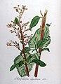 Scrophularia aquatica — Flora Batava — Volume v8.jpg