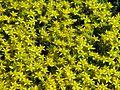 Sedum acre flowering 02.jpg