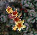 Sedum obtusatum flowers.jpg