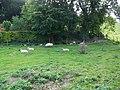 Sheep near Pitton - geograph.org.uk - 980684.jpg