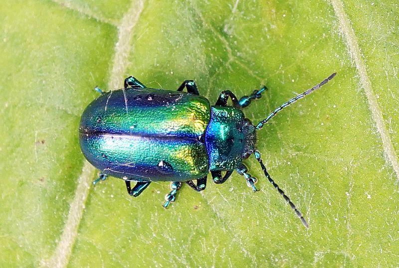 File:Shiny beetle 2.jpg