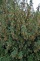 Siberian Peashrub (Caragana arborescens) - Saskatoon, Saskatchewan.jpg