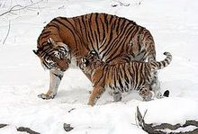 Siberian tigress with baby.jpg