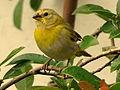 Sicalis flaveola (Canario coronado) - Juvenil (14258886540).jpg