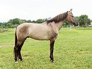 Silver Campolina male 5 years.JPG