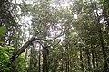 Sinharaja jungle in.jpg