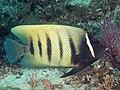 Six-banded angelfish (Pomacanthus sexstriatus) (47718922012).jpg