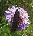 Six-spot Burnet. Zygaena filipendulae stephensi. - Flickr - gailhampshire.jpg