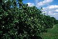 SlimCado avocado grove.jpg