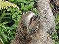 Sloth in Ubatuba, SP.JPG