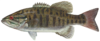 Smallmouth bass.png