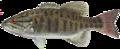 Smallmouth bass.png