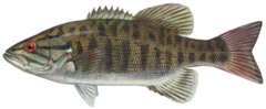 240px smallmouth bass