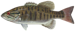 Smallmouth bass species of fish