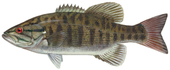 Transparent PNG of Smallmouth bass (Micropteru...