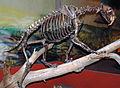 Smilodon californicus saber-toothed tiger (La Brea Asphalt, Upper Pleistocene; Rancho La Brea tar pits, Los Angeles, southern California, USA) 1 (15256732717).jpg