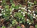 Snowdrops (Galanthus nivalis) - geograph.org.uk - 327337.jpg