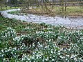 Snowdrops by the River Ebble - geograph.org.uk - 1170009.jpg
