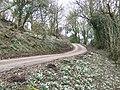 Snowdrops on Craig-y-dorth Hill - geograph.org.uk - 324163.jpg