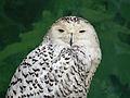 Snowy Owl RWD.jpg