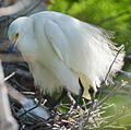 Snowy egret on nest by Bonnie Gruenberg1.jpg