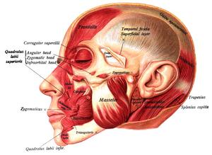 Corrugator supercilii muscle - Image: Sobo 1909 262
