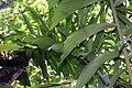 Socratea exorrhiza 10zz.jpg