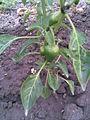 Solanales - Capsicum annuum 1 - 2011.09.07.jpg
