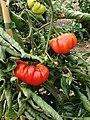Solanales - Solanum lycopersicum - 43.jpg