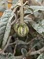 Solanum elaeagnifolium (Solanaceae) - Berries.jpg