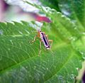 Soldier Beetle. Cantharidae - Flickr - gailhampshire.jpg