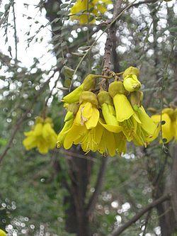 Sophoracassioides14.jpg