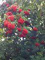 Sorbus aucuparia fruit 8.JPG