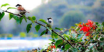 Sparrow of India.jpg
