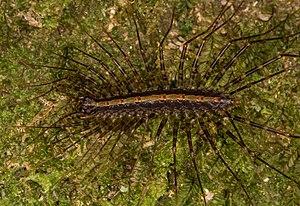 Pselliodidae - Sphendononema guildingii