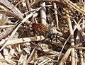 Sphex cf. funerarius female (Sphecidae) (33391975632).jpg