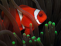 Spinecheek anemonefish Nick Hobgood